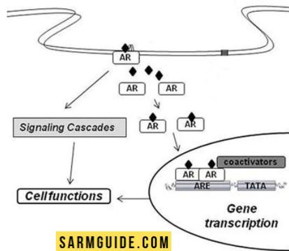 How SARMs work